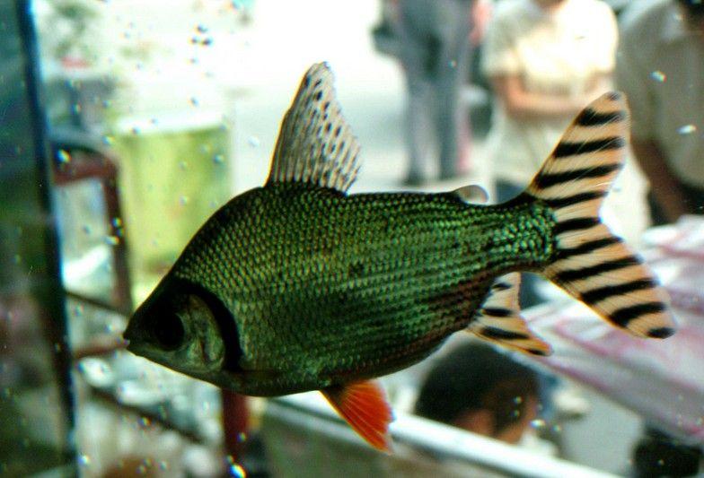 【西安卖沉木】开车1000公里才刚到家 西安观赏鱼信息 西安博特第2张