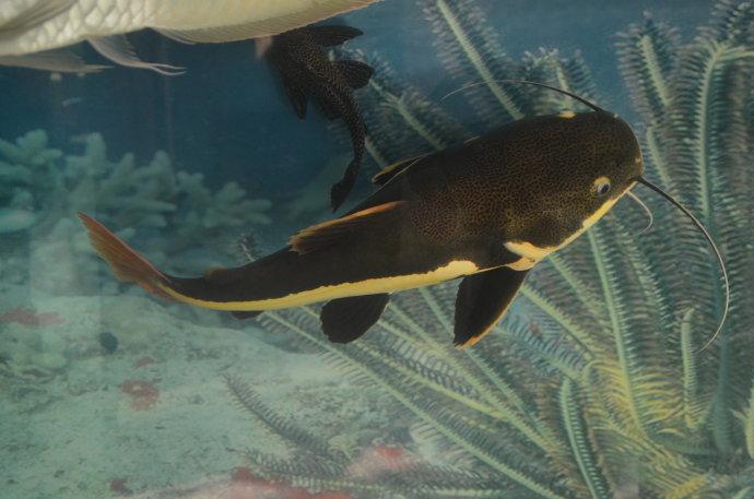 【西安鱼缸沉木批发】清晨小家伙看着我吃饭 西安观赏鱼信息 西安博特第3张