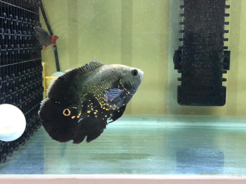 寻求帮助评估伟大的上帝 西安观赏鱼信息 西安博特第1张