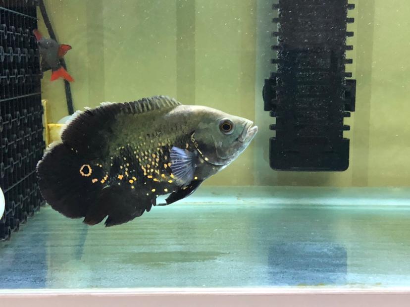 寻求帮助评估伟大的上帝 西安观赏鱼信息 西安博特第2张