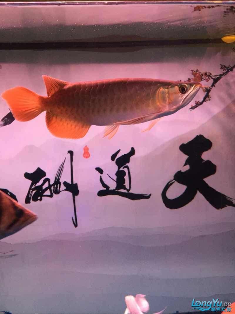 前湖紫燕小龙档案 西安观赏鱼信息 西安博特第1张