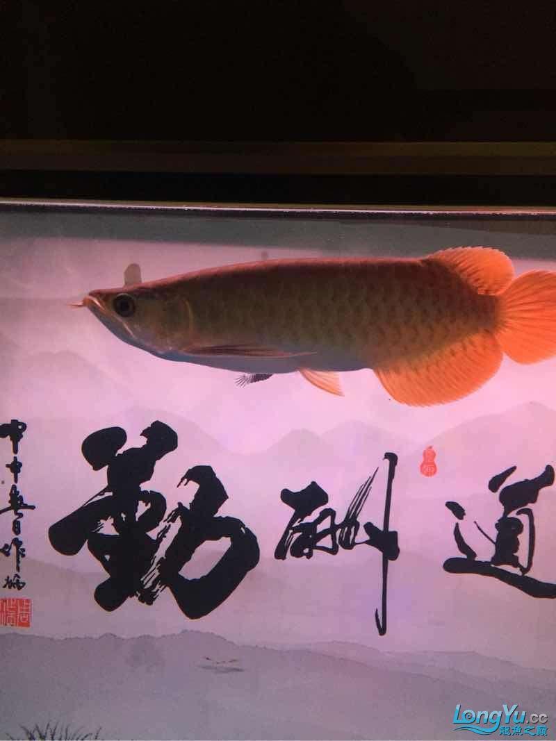 前湖紫燕小龙档案 西安观赏鱼信息 西安博特第2张