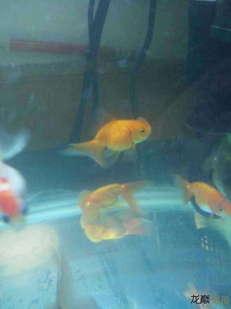 【西安哪个水族店有白化鸭嘴鱼】新手开车试水 西安观赏鱼信息 西安博特第1张
