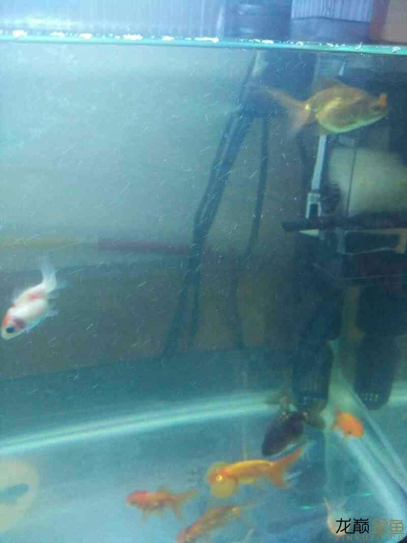 【西安哪个水族店有白化鸭嘴鱼】新手开车试水 西安观赏鱼信息 西安博特第2张