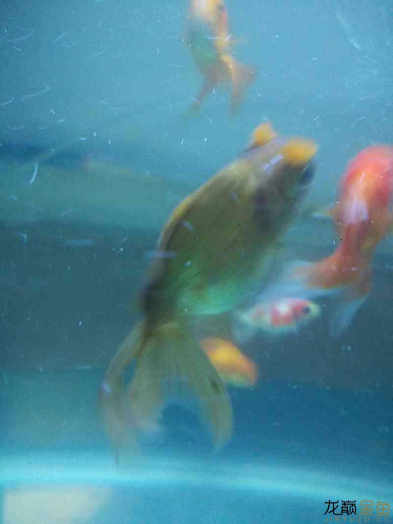 【西安哪个水族店有白化鸭嘴鱼】新手开车试水 西安观赏鱼信息 西安博特第3张