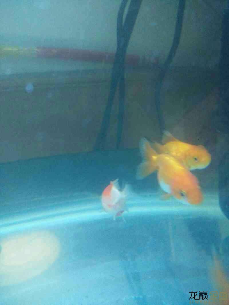 【西安哪个水族店有白化鸭嘴鱼】新手开车试水 西安观赏鱼信息 西安博特第4张