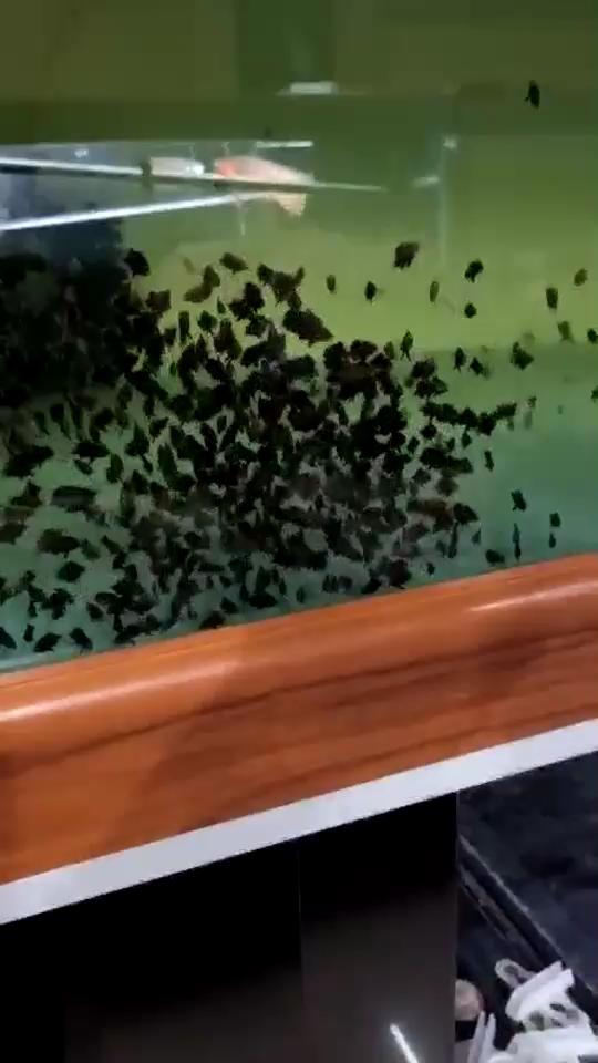 【西安观赏鱼批发价格】2019印度尼西亚加里曼丹1cm老虎苗 西安观赏鱼信息 西安博特第1张