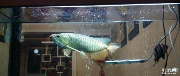 大家帮我看看这龙鱼是什么品质啊 西安观赏鱼信息