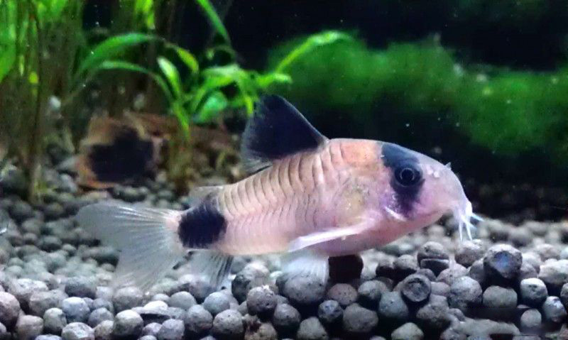 我已经喂了两个月了我会再放两张小照片 西安观赏鱼信息