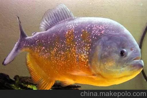 大家看看这货怎样不行就不隔离了 西安观赏鱼信息