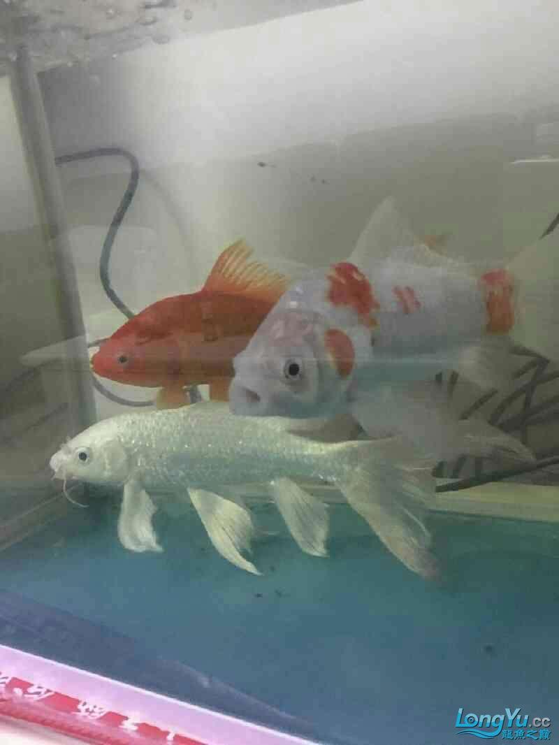一个月后我将成为一个养龙的新手 西安观赏鱼信息 西安博特第3张