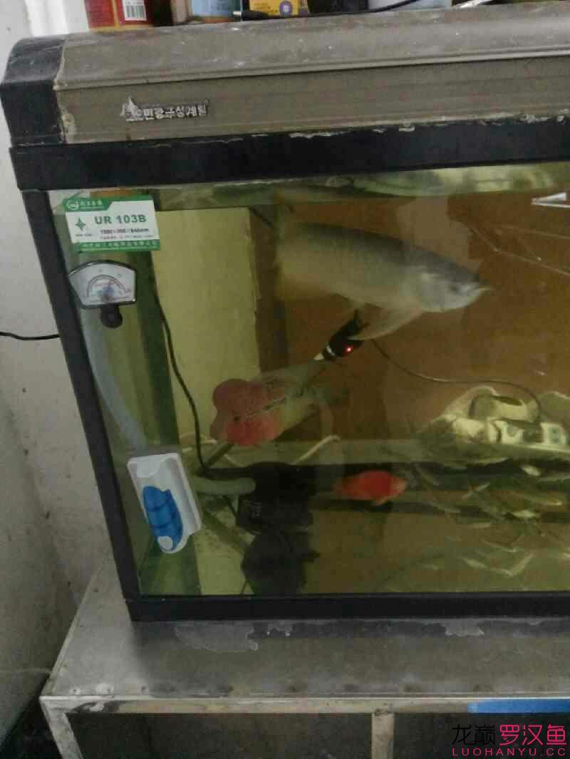 【西安水族鱼批发市场】我的罗汉鱼怎么了? 西安观赏鱼信息 西安博特第3张