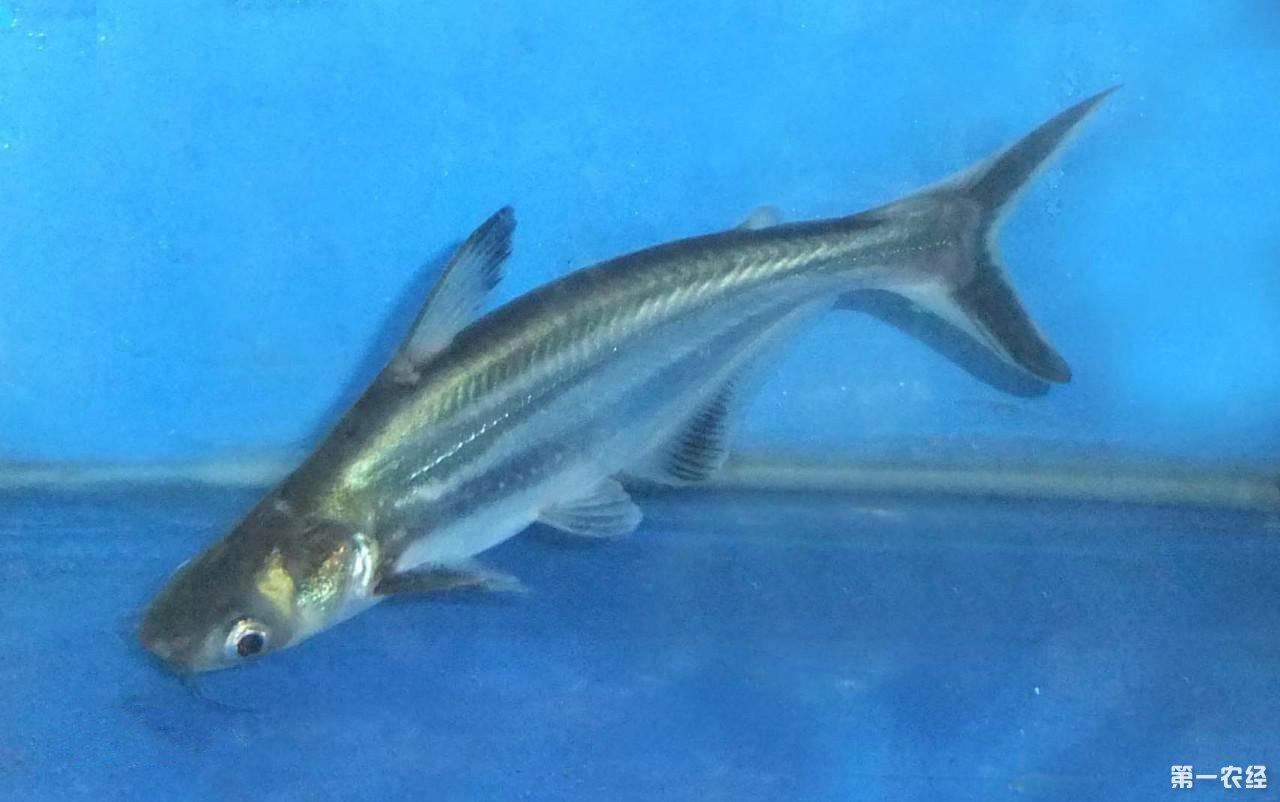 【西安水族鱼批发市场】我的罗汉鱼怎么了? 西安观赏鱼信息 西安博特第4张