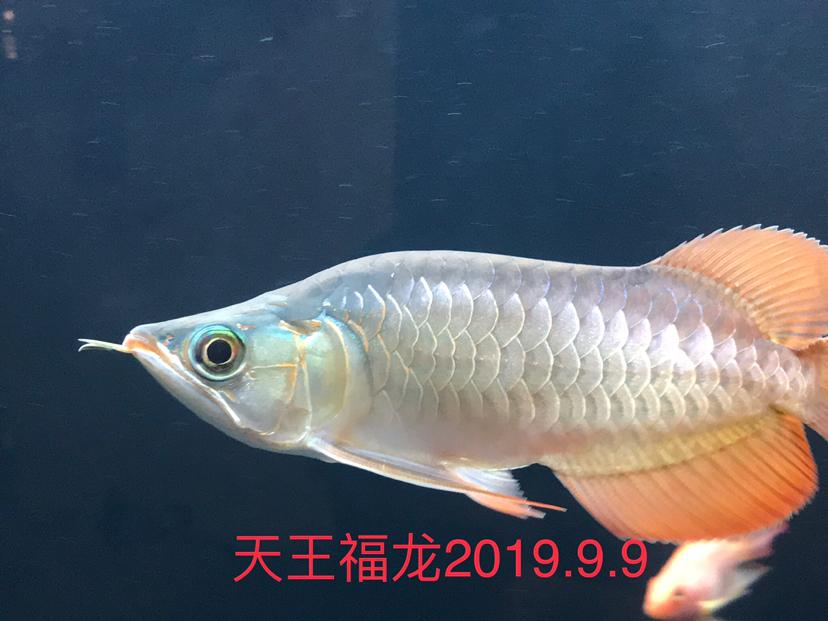 天王限量福龙 西安观赏鱼信息 西安博特第1张