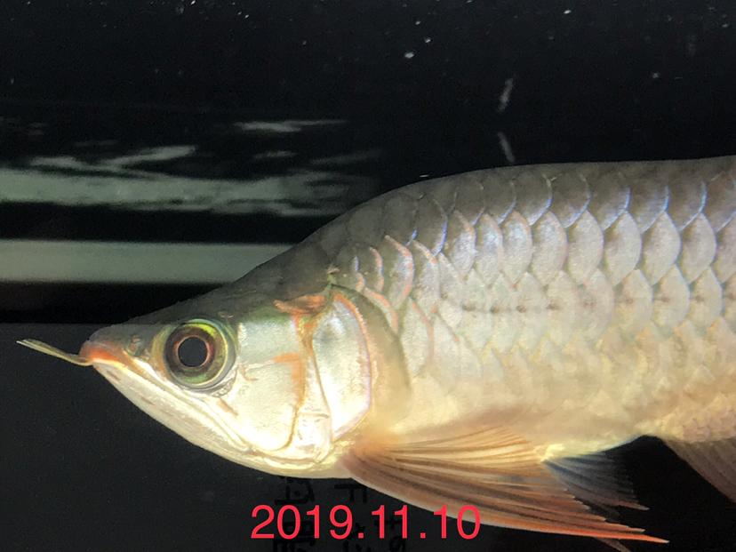 天王限量福龙 西安观赏鱼信息 西安博特第4张