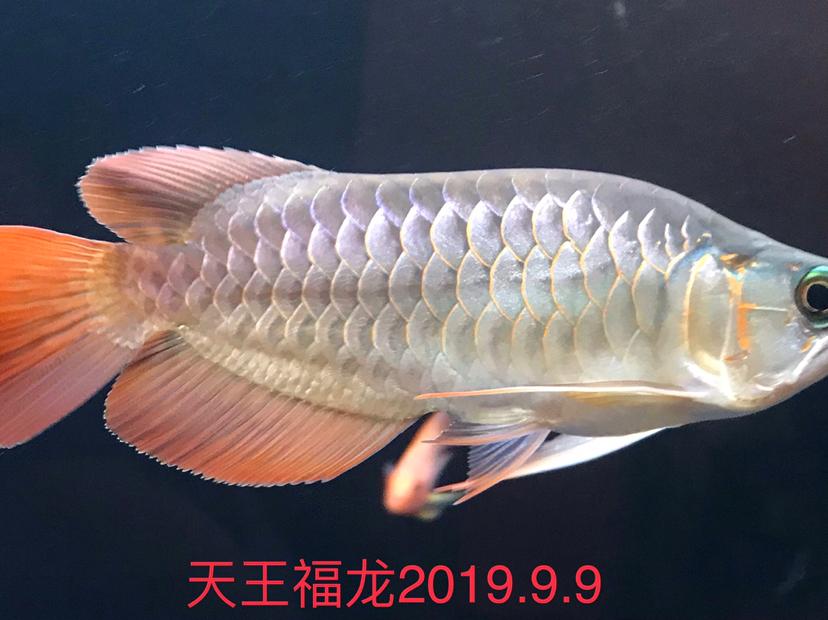 天王限量福龙 西安观赏鱼信息 西安博特第5张