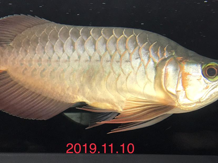 天王限量福龙 西安观赏鱼信息 西安博特第7张