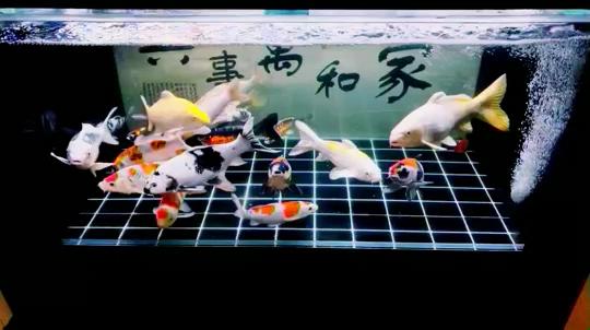 七龙珠 西安龙鱼论坛 西安博特第1张