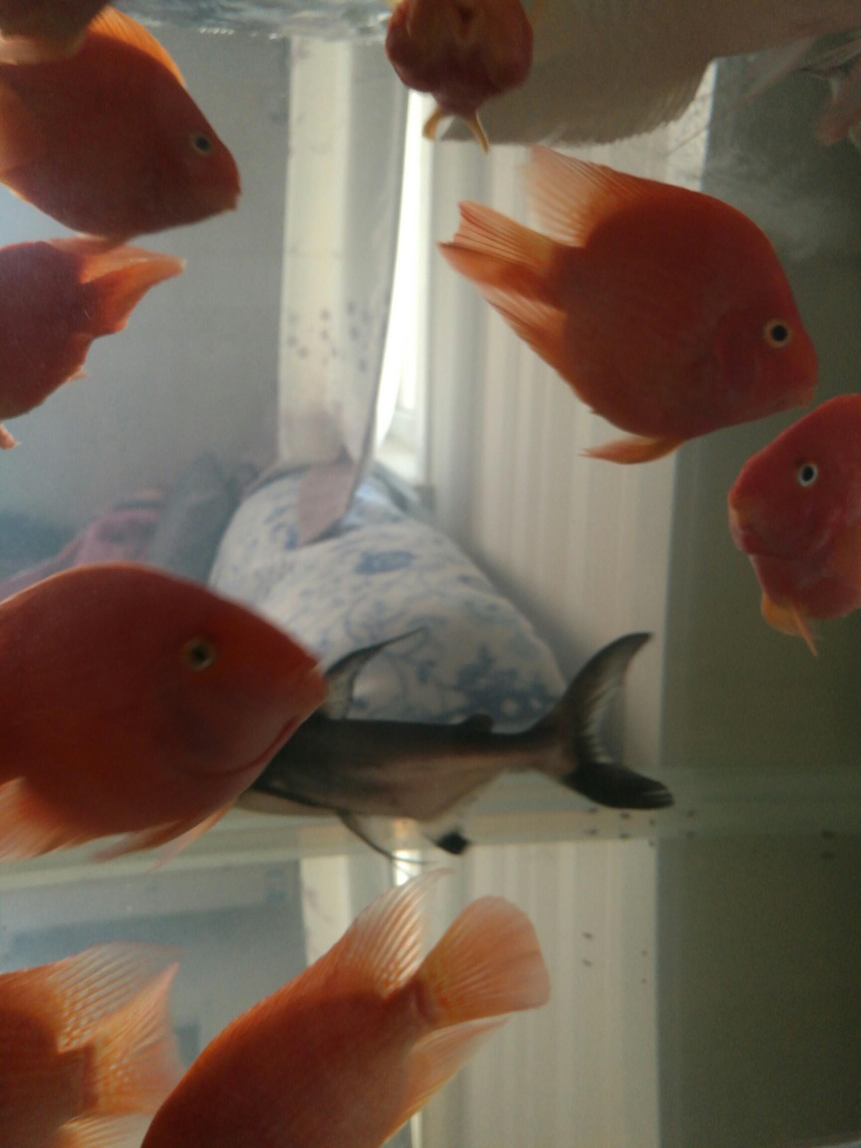 【西安三纹虎】鱼半年 西安龙鱼论坛 西安博特第7张