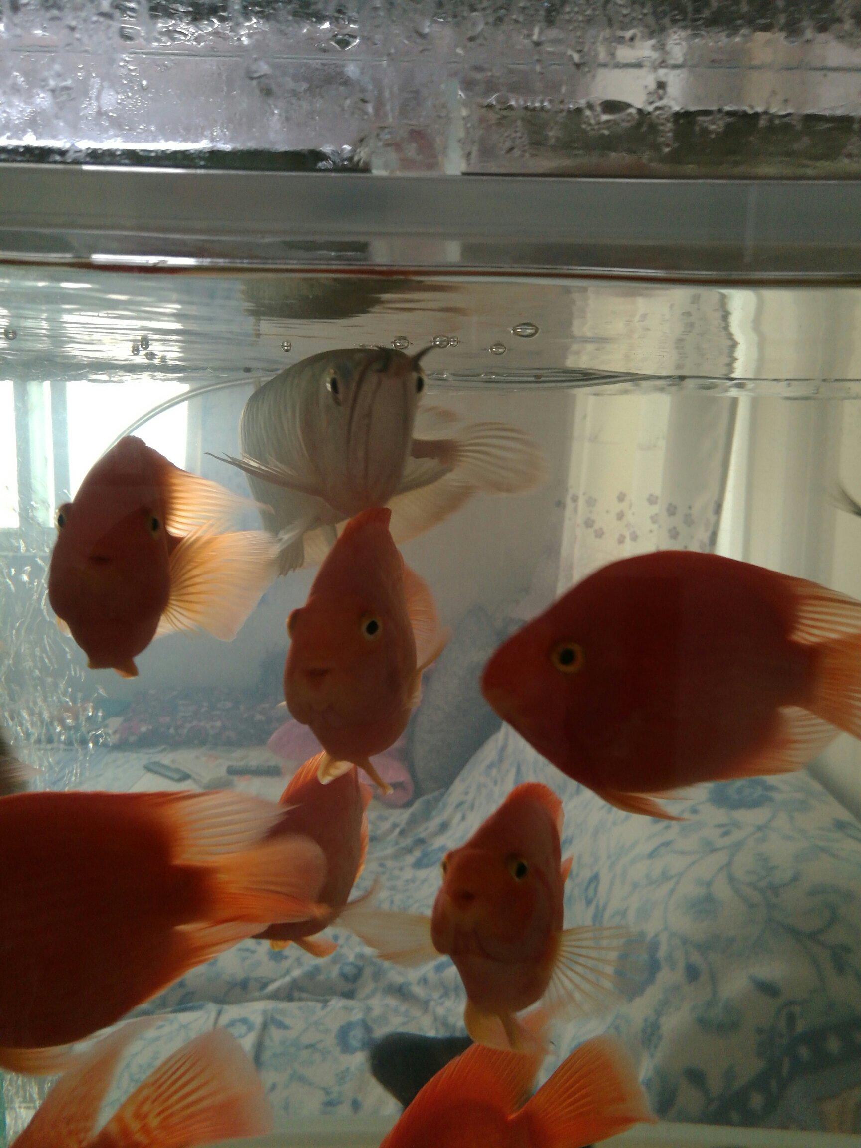 【西安三纹虎】鱼半年 西安龙鱼论坛 西安博特第8张