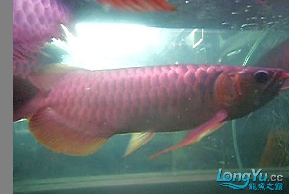 【西安水族馆地址】哇哈哈又摔倒了找个角画一个圆 西安龙鱼论坛 西安博特第2张