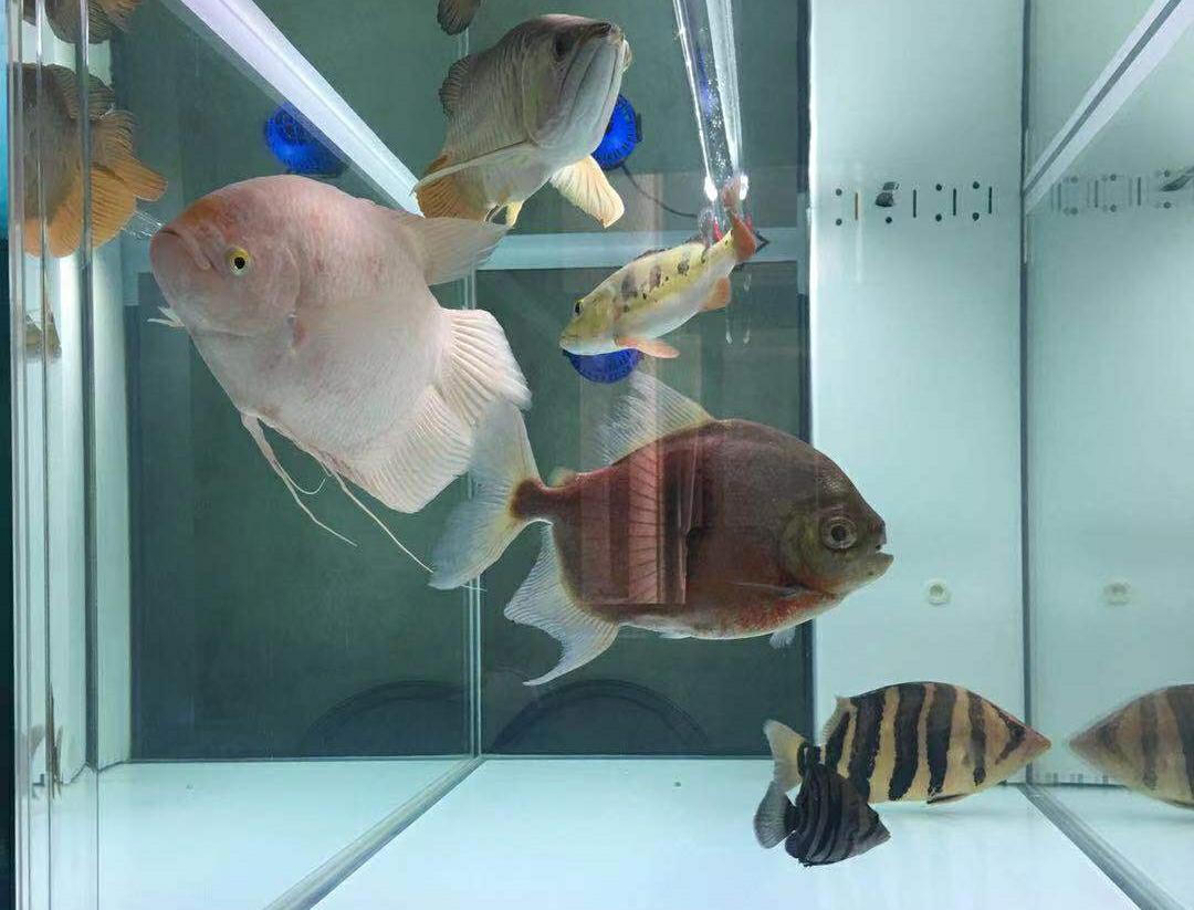 【西安红龙专卖】打孔:戒烟养鱼 空气不是空气 西安观赏鱼信息 西安博特第1张