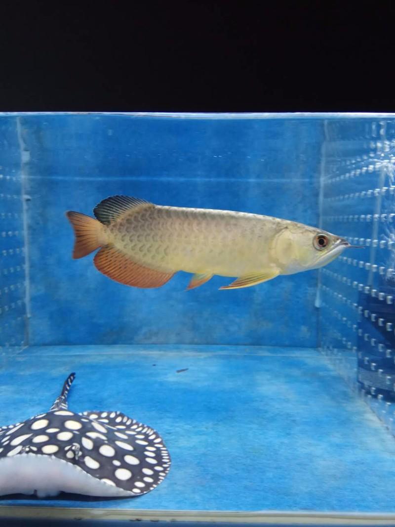 还剩两个月纪念 西安观赏鱼信息 西安博特第4张