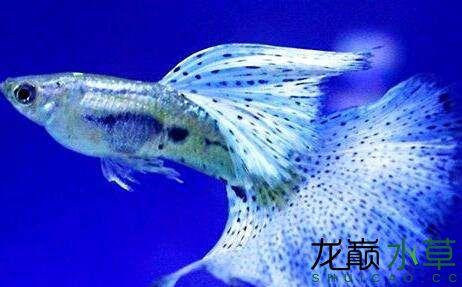 孔雀鱼跳坦克的原因是什么? 西安龙鱼论坛 西安博特第2张