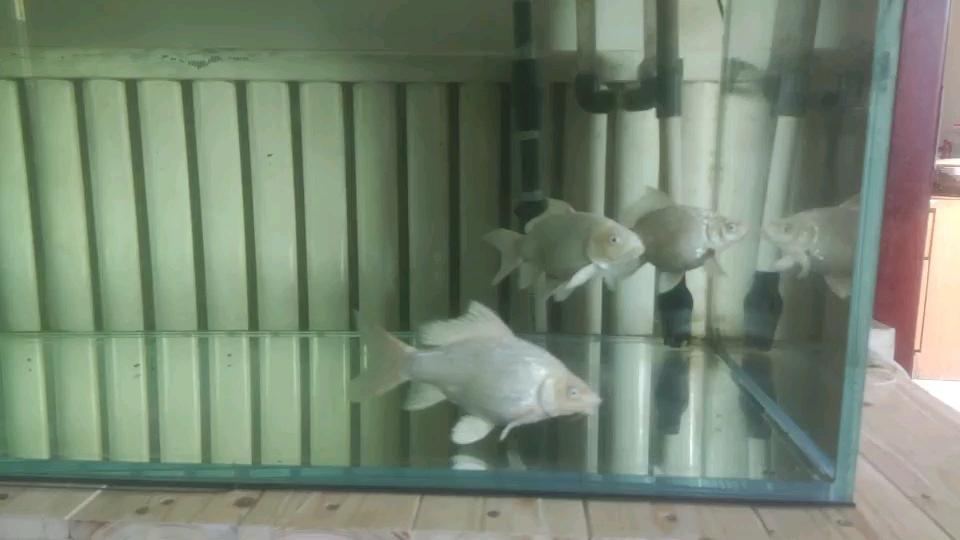 在两个月内它已从几厘米提高到如此大的尺寸 西安龙鱼论坛 西安博特第1张