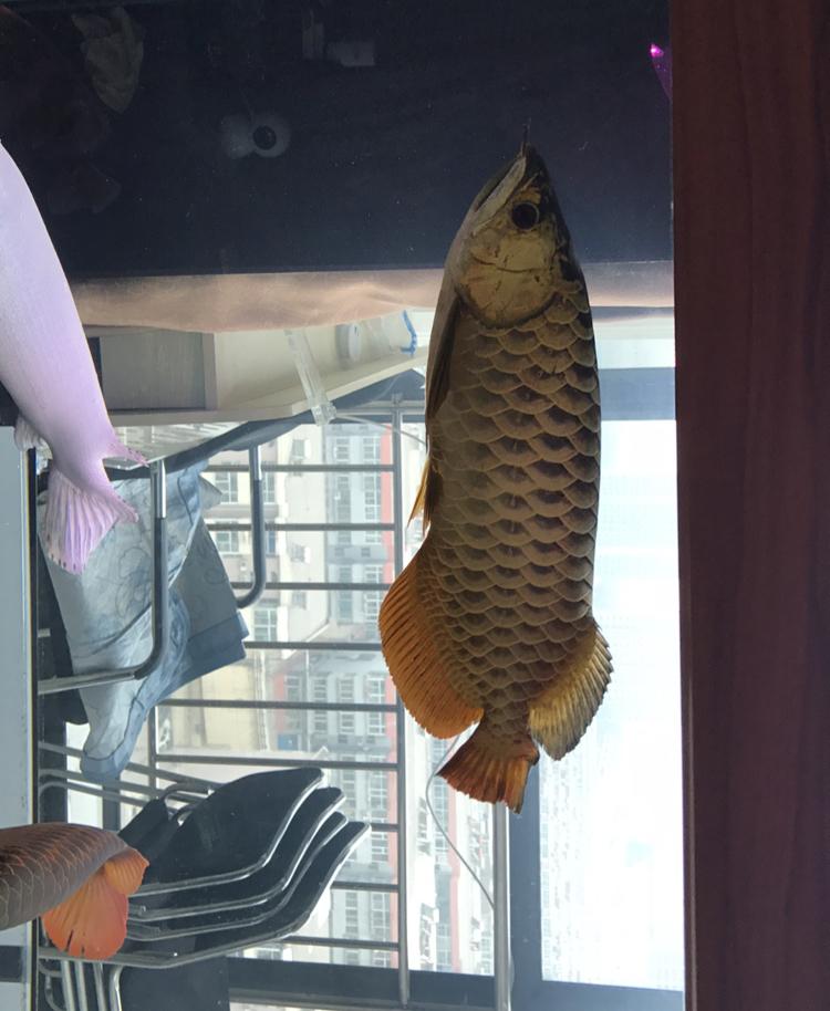 自从我张贴鱼的照片以来已经很长时间了 西安龙鱼论坛 西安博特第3张