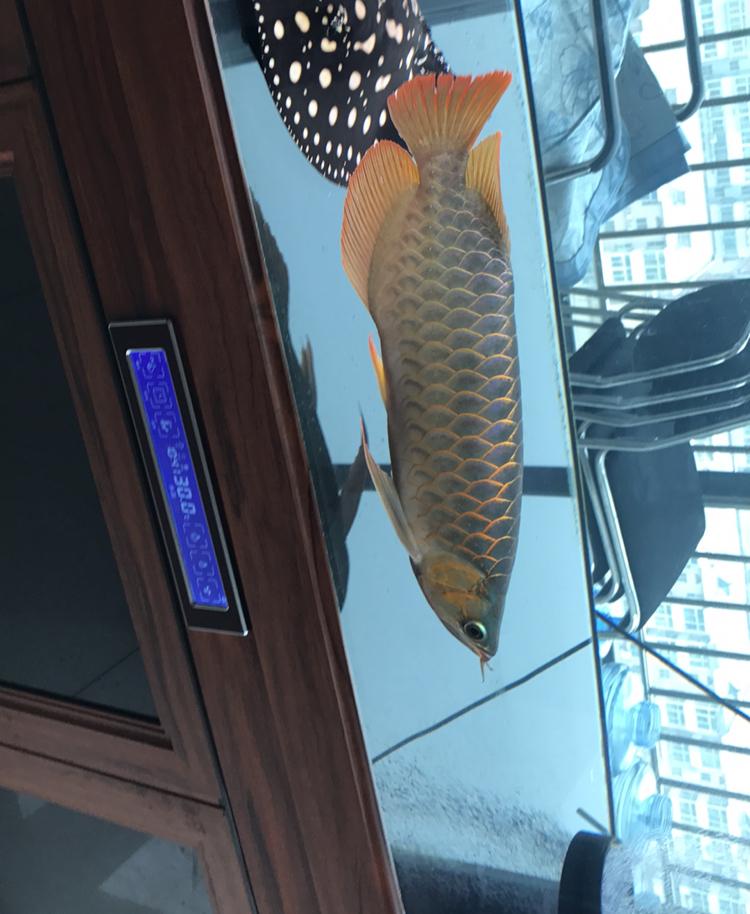 自从我张贴鱼的照片以来已经很长时间了 西安龙鱼论坛 西安博特第4张