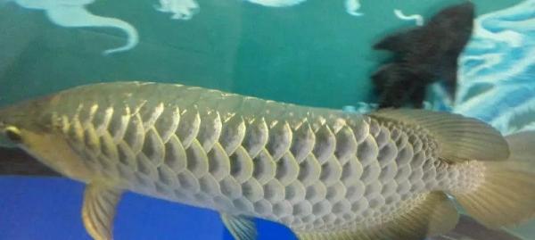 【西安魟鱼】你知道你养的锦鲤是雄性还是雌性吗?重新发布
