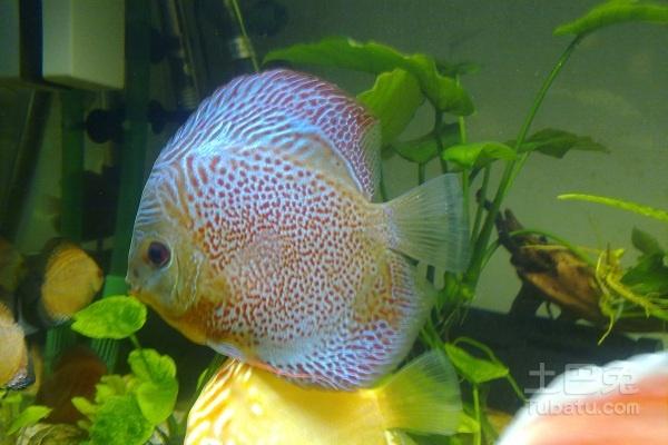 小鱼都是别人的好 西安龙鱼论坛 西安博特第6张
