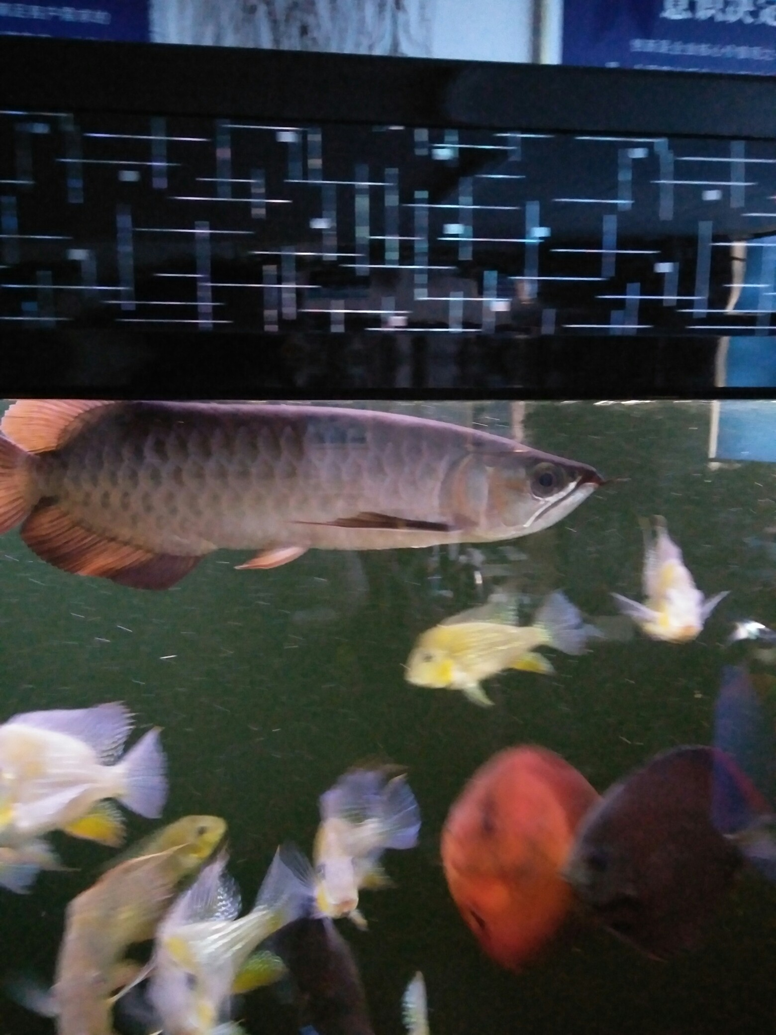 【西安红木实木鱼缸】龙鱼厌食的三种情况 西安龙鱼论坛 西安博特第1张