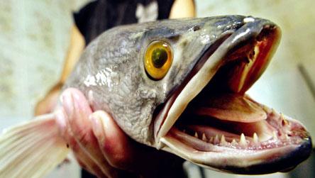 【西安红木实木鱼缸】龙鱼厌食的三种情况 西安龙鱼论坛 西安博特第5张