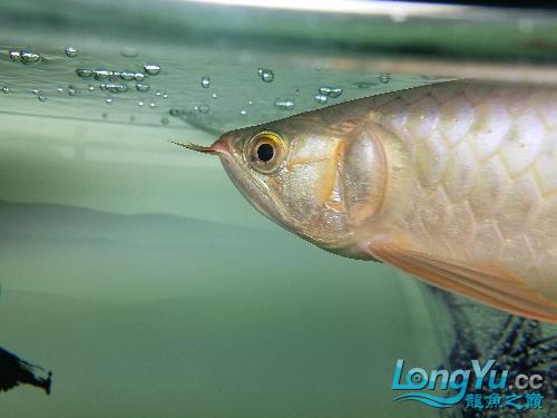 大家帮看一下龙鱼眼眶有白朦朦的一圈是蒙眼了吗? 西安龙鱼论坛 西安博特第2张