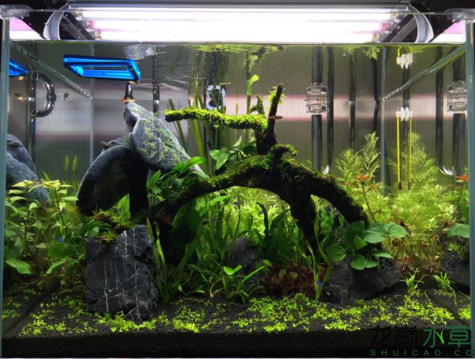 6草缸新手开杠1个月开始爆藻了求助各位大神 西安观赏鱼信息 西安博特第3张