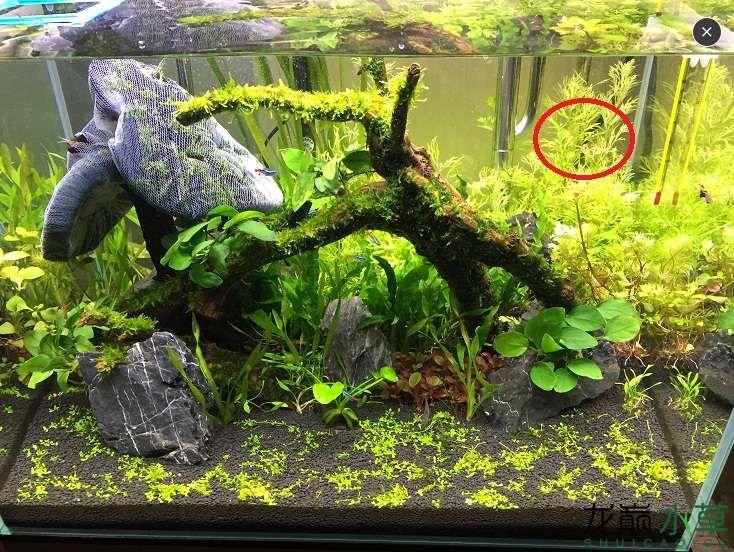 6草缸新手开杠1个月开始爆藻了求助各位大神 西安观赏鱼信息 西安博特第7张