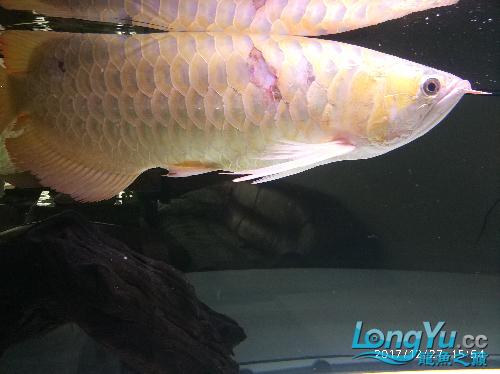 大龙搬家 西安观赏鱼信息 西安博特第5张