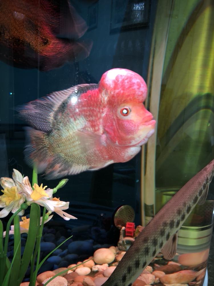 六个多月了 西安观赏鱼信息 西安博特第3张