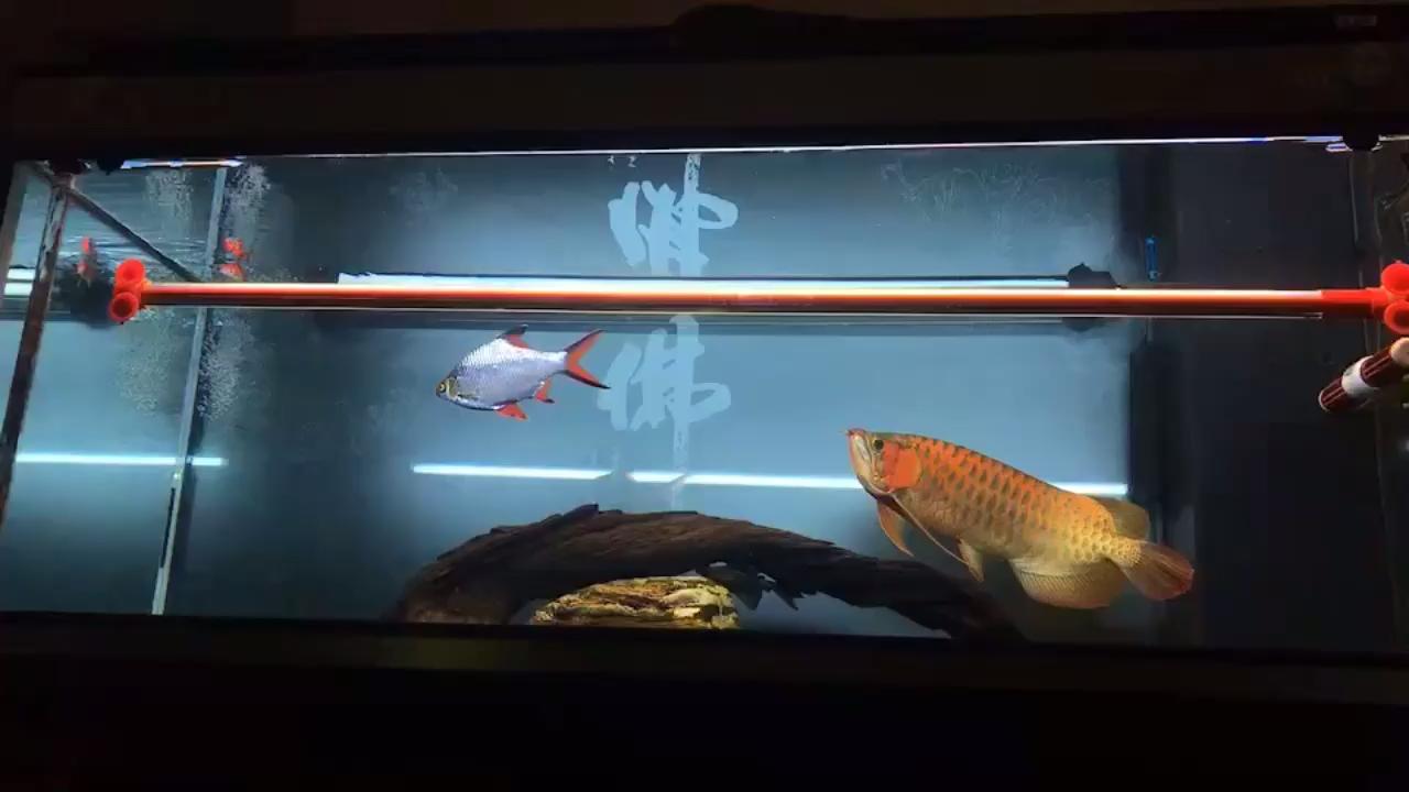 毒椒日常打卡 西安观赏鱼信息 西安博特第1张