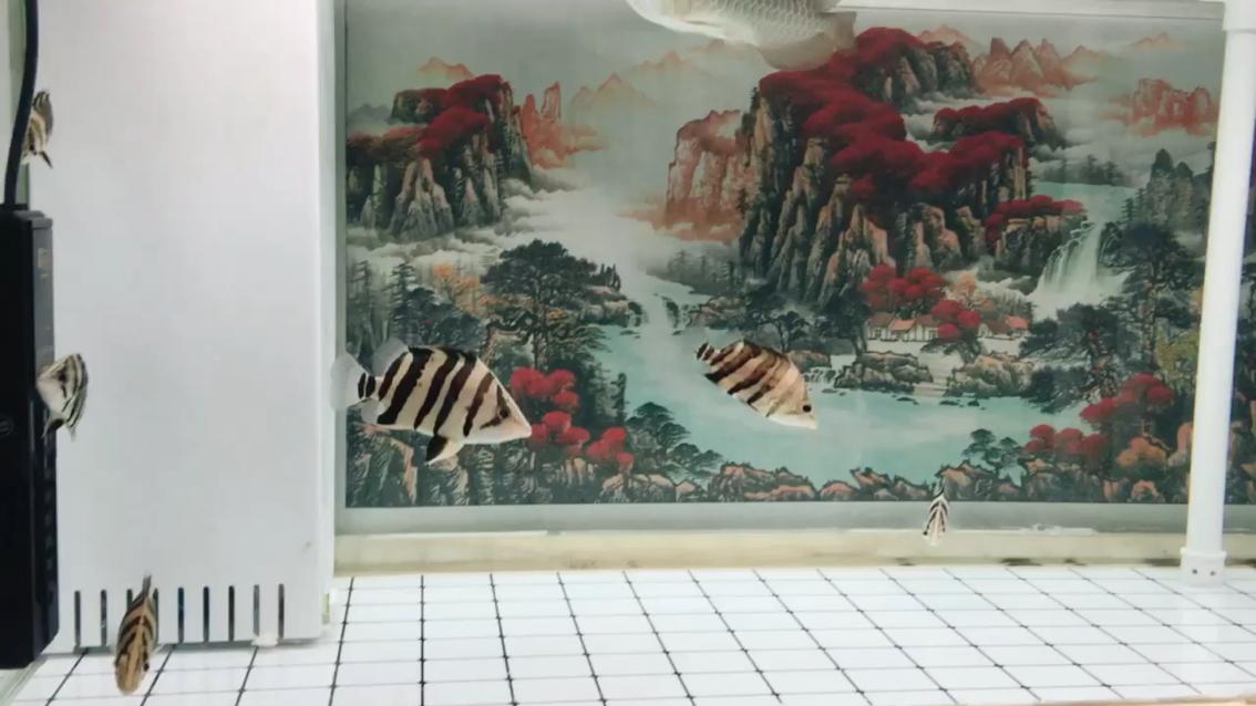 【西安哪家有台湾蝴蝶鲤】签到 西安观赏鱼信息 西安博特第1张