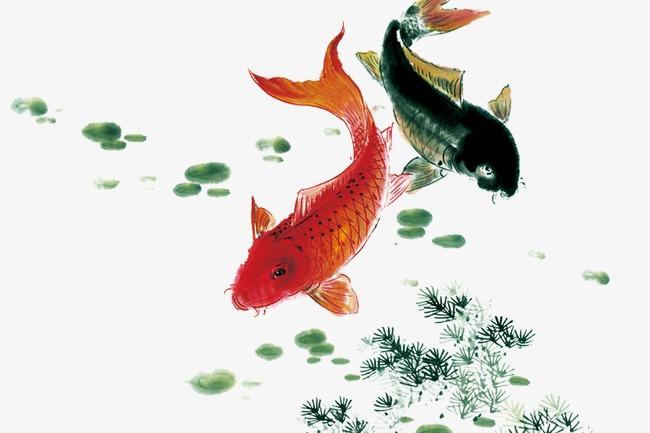 【西安元宝凤凰鱼】这水真的是太清澈了 西安观赏鱼信息 西安博特第2张
