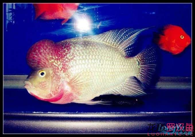 新年愿望鱼勇祝大家新年快乐 西安观赏鱼信息 西安博特第2张