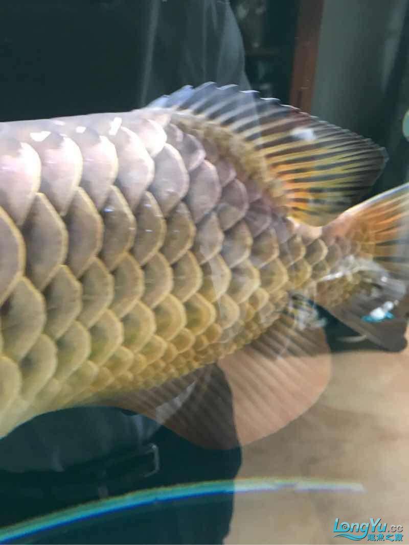 这是水霉病吗 西安龙鱼论坛 西安博特第1张