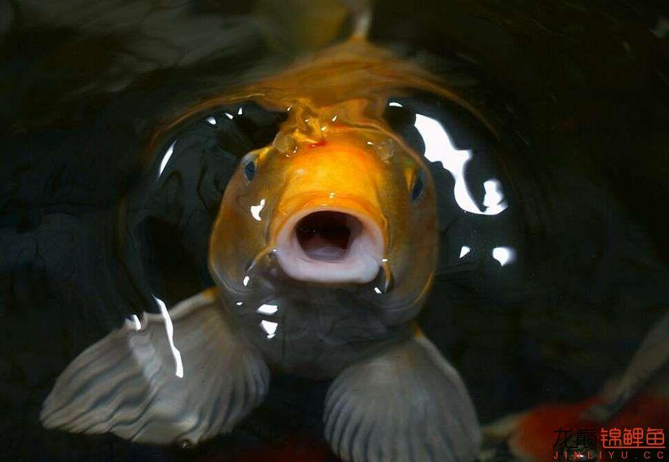 嘴部特写来一波 西安观赏鱼信息 西安博特第2张