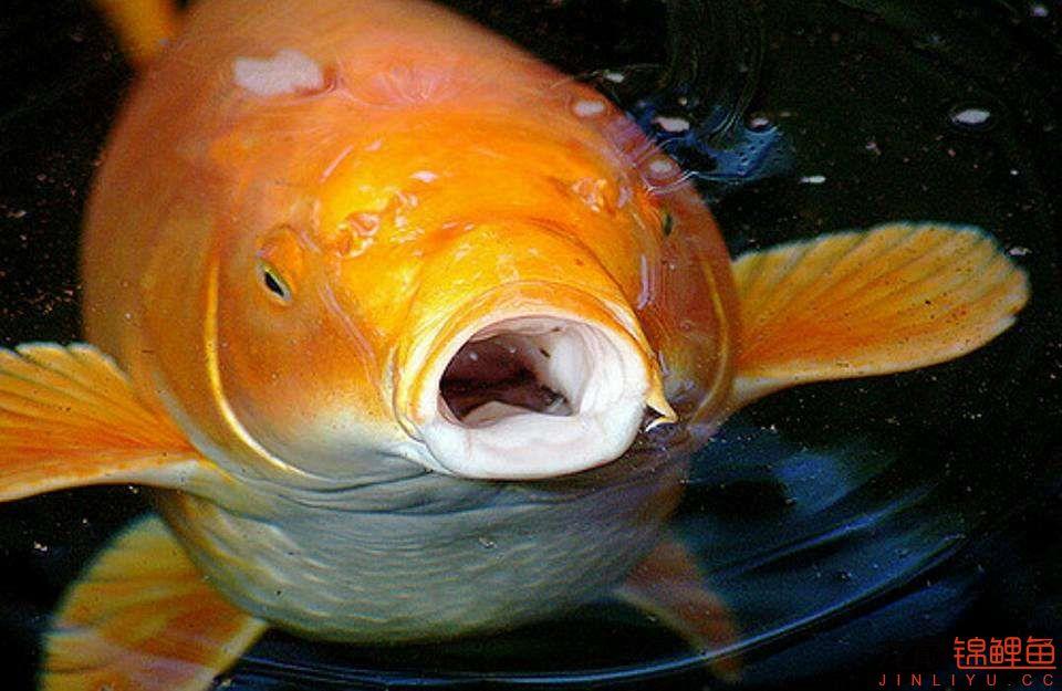 嘴部特写来一波 西安观赏鱼信息 西安博特第3张