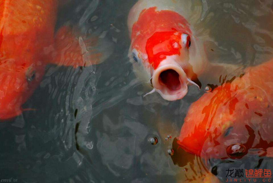 嘴部特写来一波 西安观赏鱼信息 西安博特第4张