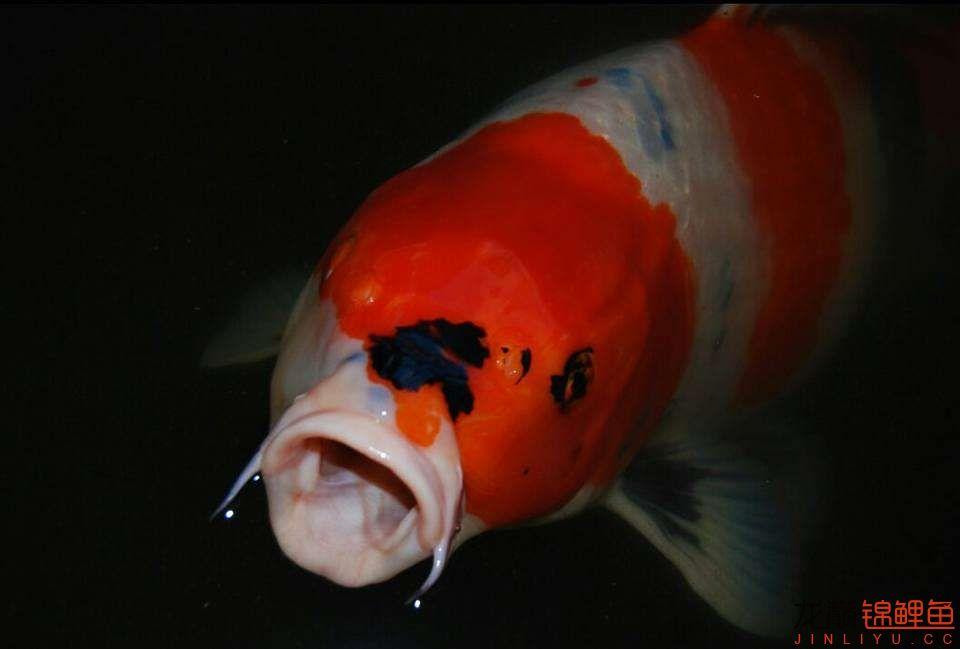 嘴部特写来一波 西安观赏鱼信息 西安博特第5张