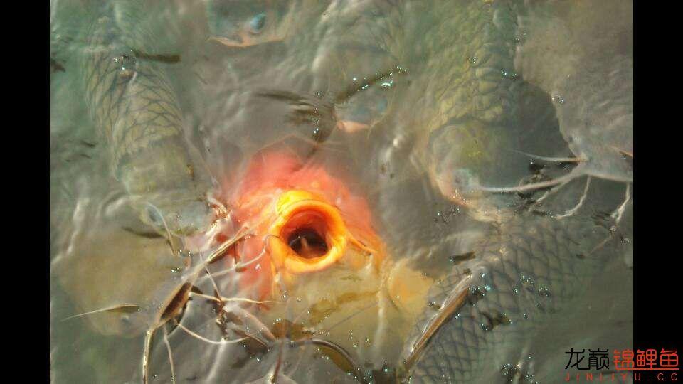 嘴部特写来一波 西安观赏鱼信息 西安博特第6张
